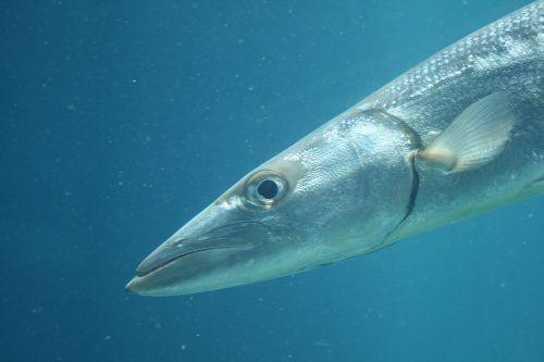 žuvis, ilgai, lieknas, sidabrinis, akvariumas, lieknas žuvis akvariume