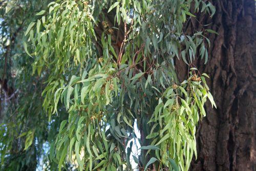 medis, eukaliptas, guma, lapai, lapija, žalias, ilgai, lieknas, lieknas eukalipto medžio lapas