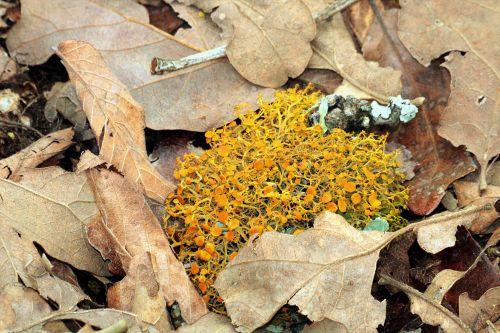 gamta, augalai, grybai, grybelis, oranžiniai grybai, kerpės, oranžinė & lbshen, lieknas & nbsp, oranžinis & nbsp, krūmas & nbsp, kiaules, oranžiniai & nbsp, ratai, auga, mirusios & nbsp, lapai, ruda & nbsp, lapai, žemė, grindys, miškai, lieknas apelsinų krūmo kopūstai arti