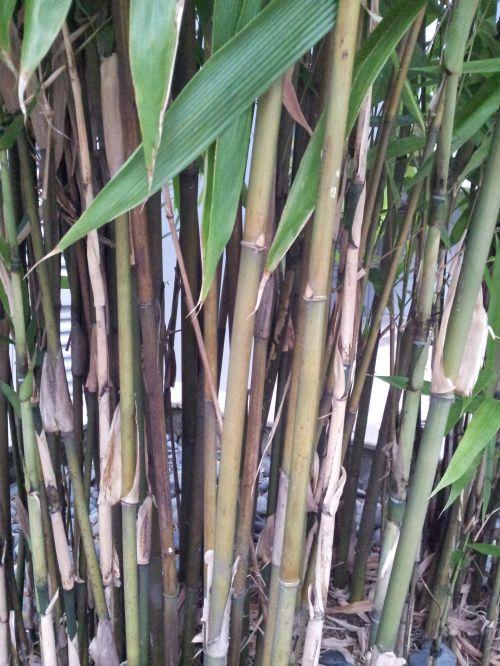 lieknas, bambukas, stiebas, šaknis, plonas bambuko stiebas ir šaknys