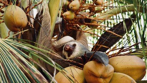 tingumas, Costa Rica, medis, pobūdį, vaisių, Tropical, priklausyti nuo