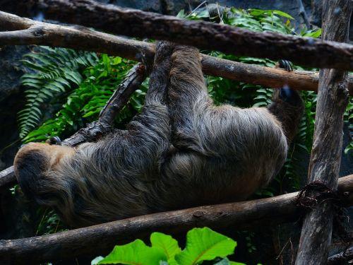 sloth,lipti,shimmy,priklausyti,dviašmenis lobis,Choloepas,faktinis dviejų žingsnių lūis,unau,Choloepus didactylus,megalonychidae