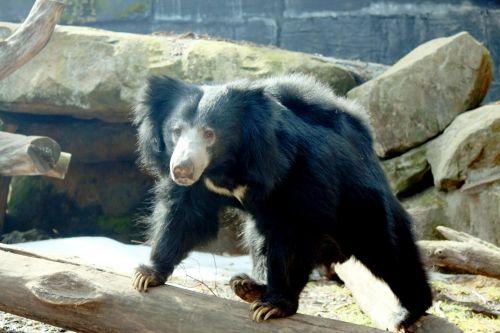 sloth & nbsp, bear, turėti, žinduolis, laukinė gamta, gyvūnas, gamta, nagai, kailis, juoda, nosis, snukis, snukis, mielas, pūkuotas, slibinas lokys klajojantis