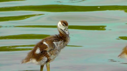 mažas,mielas,pūkas,jaunas paukštis,nilgans,jaunas gyvūnas,plumėjimas,purus,viščiukai,jaunas,gyvūnas,saldus,fotogeniškas
