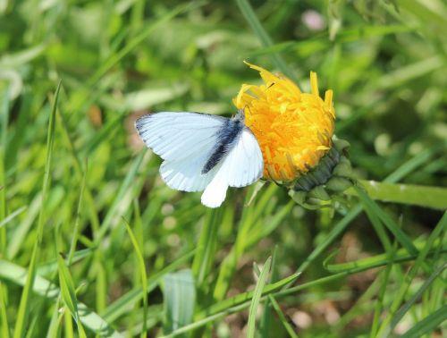 mažos kopūstinės baltos spalvos drugelis,pieris rapae,drugelis,drugeliai,baltos spalvos,vabzdys,vasara,Uždaryti