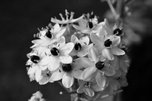 gėlės, galva, mažas, juoda & nbsp, balta, ornitogalumas & nbsp, arabika, mažos gėlės juodos ir baltos spalvos
