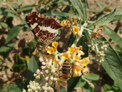 mažos vėžlių síťkovaná,drugelis,skraidantys vabzdžiai,nektaras