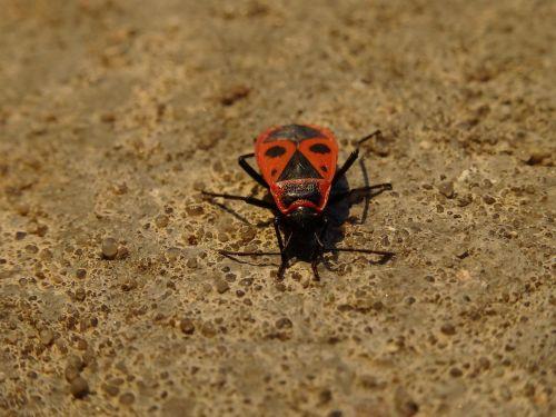 smithas wingless,nariuotakojų,sześcionogi,vabzdžiai,sparnuoti vabzdžiai,pyrrhocoridae