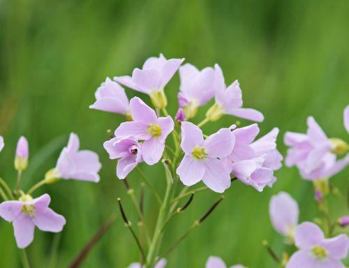 smock,kardaminas,žydintis augalas,aštraus gėlė,violetinė,pieva,šviesiai violetinė,kortelės amines pratensis,kryžmažiški augalai,Uždaryti,gėlė,švelnus violetinis,laukinės gėlės,violetinė,gėlių pieva,žydėti,pievų augalai,ekologija,gėlės
