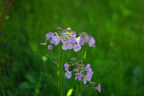 smock,gėlės,šviesiai violetinė,violetinė,kortelės amines pratensis,kardaminas,kortelių aminai,kryžmažiški augalai,brassicaceae,švelnus,švelnus violetinis,gegutė,aštraus gėlė,žydintis augalas,rožinis,šviesiai rožinė,Bettbrunzer,mėlynas fontanas kressich,gauchblume,šlapimo sėklos,mayflower,marie gėlė,pinksterbloem,Prairie žolė,gandras šnabalis,italicum,vandens žolės,laukinis tvirtovė,brook cress,saldus vandens šaknis,Chessali,lauko kresas,mėsos gėlė,geldseckalischelm,gėlės taikomi,hanotterblom,heinotterblom,hennaäugli,kiewitsblome,rudos vandens šaknys,laukinis kresas,kukuksblome,maiblome,matinis kresechas,pieno gėlė,saldžiosios gėlės,pingsterblömen,schisgelte,šventė bloom,störkeblöme,pievos kresas,ziegerle