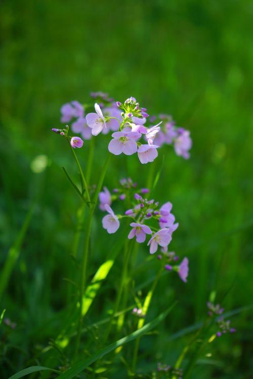 smock,gėlės,šviesiai violetinė,violetinė,kortelės amines pratensis,kardaminas,kortelių aminai,kryžmažiški augalai,brassicaceae,švelnus,švelnus violetinis,gegutė,aštraus gėlė,žydintis augalas,rožinis,šviesiai rožinė