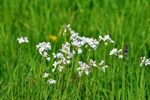 palaidinis, kortelių aminai, vaistažolės, kryžmažiedžių augalų, žolė, meadow, pobūdį, laukas