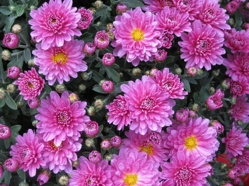 lygus lapų asteris,aster,chrizantema,gėlė,rožinis,augalas,budas,žiedas,žydėti,žydėti