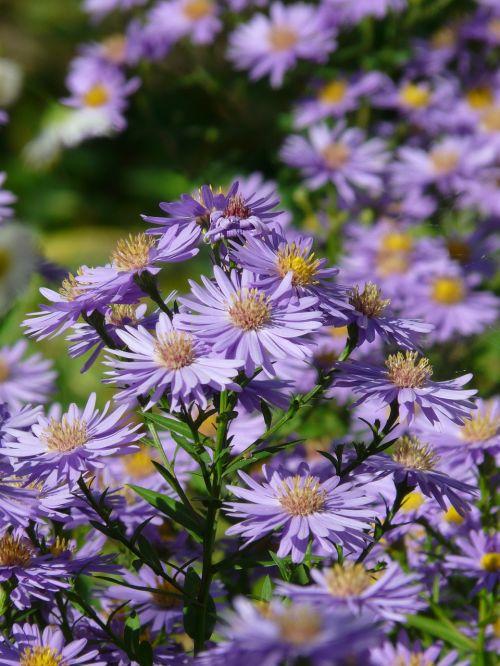 lygus lapų asteris,aster,herbstaras,gėlė,žydėti,gėlės,dekoratyvinis augalas,violetinė,violetinė,flora,spalvinga,spalva