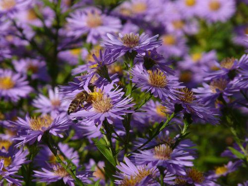 lygus lapų asteris,aster,herbstaras,gėlė,žydėti,gėlės,dekoratyvinis augalas,violetinė,violetinė,flora,spalvinga,spalva,bičių