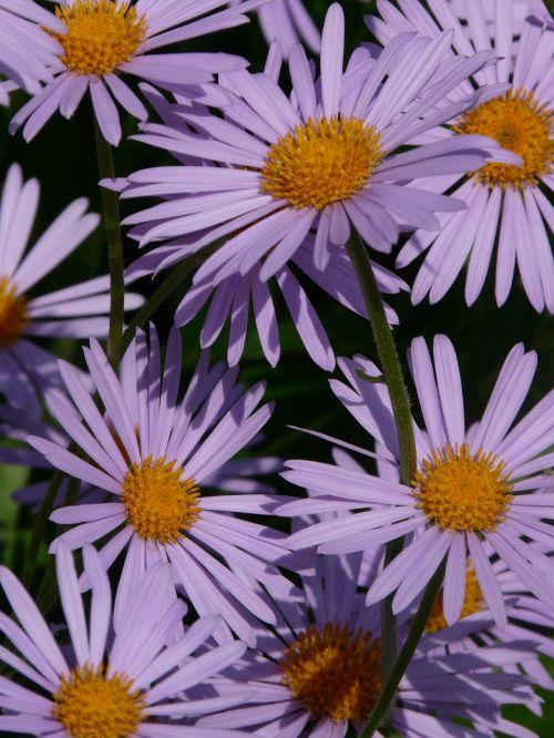 lygus lapų asteris,aster,herbstaras,gėlė,žydėti,gėlės,dekoratyvinis augalas,violetinė,violetinė,flora,spalvinga,spalva,bičių,symphyotrichum novi belgii,rau lapų asteris,symphyotrichum novae angliae,kompozitai,asteraceae,krūmas