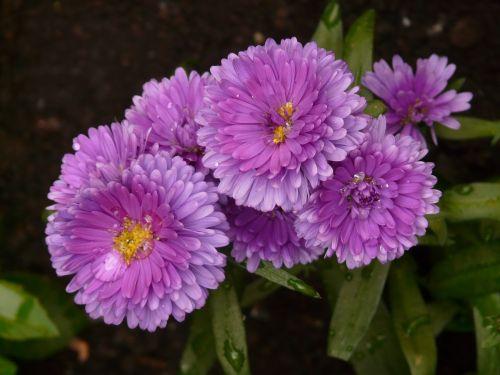 lygus lapų asteris,aster,sodo aster,gėlė,augalas,dekoratyvinis augalas,flora,violoett,lašelinė,liūtys