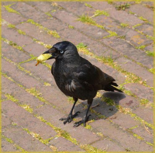 paukštis, varna, gyvūnas, gamta, duona, maistas, užkandis, paukščiai, gyvūnai, užkandis