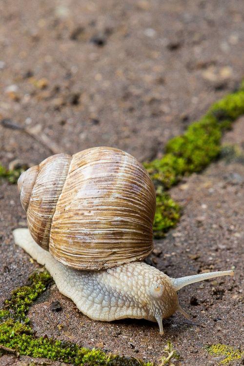 sraigė,lukštas,nuskaityti,mollusk