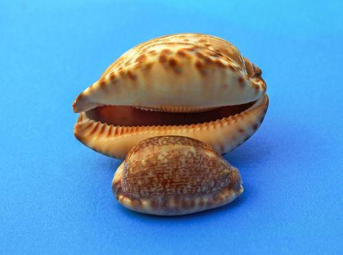 sraigė,moliuskas,jūrų,jūrų kriauklės,jūrų sraigė,jūrų gyvūnija,gamta,jūra