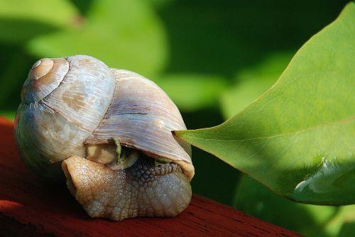 sraigė,lukštas,gyvūnas,lėtai,padaras,lapai,žalias,žalias lapas,makro,vaizdas