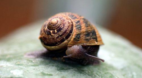 sraigė,lukštas,Uždaryti,gamta,makro,būstas,mollusk,atgal,apsižvalgyti,lėtai,nuskaityti,gyvūnas,zondas,kruopštus,lapai,judėti,lėtai judėti,lėtai nuskaityti,nesunkiai,tylus,gražus