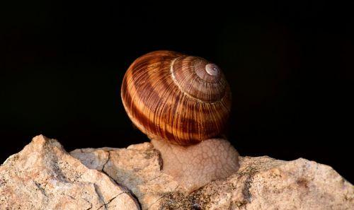 sraigė,lukštas,gamta,Uždaryti,sraigės apvalkalas,spiralė,moliuskai,gyvūnai,ropliai,nuskaityti,nuskaityti,lėtai,būstas