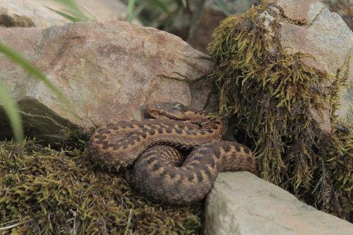gyvatė,gamta,ropliai,gyvūnas,nuodai,gyvūnai,buveinė,ropliai