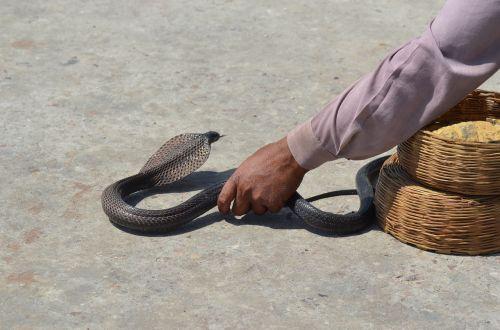 gyvatė,toksiškas,gyvūnas,grasinanti,snakehead