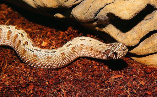gyvatė, heterodon nasicus, Šiaurės Amerika, Meksika, viper-like, šiek tiek toksiškas, scheu, ruda, modelis, ropliai, skalė