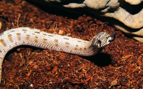 gyvatė, heterodon nasicus, Šiaurės Amerika, Meksika, viper-like, šiek tiek toksiškas, scheu, ruda, modelis, ropliai, skalė, geltona