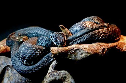 gyvatės,juodos gyvatės,gyvūnas,ropliai