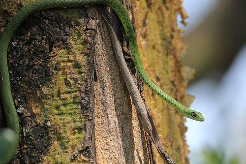 gyvatės, pastebėtas krūmas gyvatės, pietų Afrika