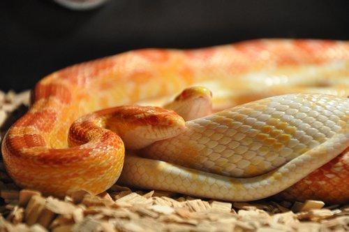 gyvatės, kukurūzų gyvatės, roplys, skalė, terariumas, padaras, oranžinė, galva, pasiklysti, smalsu, gyvūnas, portretas, geltona, liežuvis, paslėpti, modelis, mažas, glamonėti
