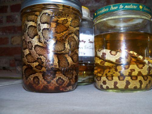 gyvatė, gyvatės, gyvūnas, gyvūnai, jar, stiklainiai, muziejus, muziejai, rodyti, gyvatės