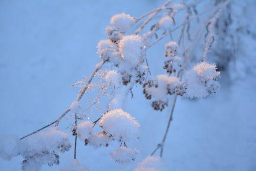 sniegas,filialas,šaltas,gamta,medis,žiemos miškas,snaigės,žiemos svajonė,kraštovaizdis,po sniegu,medžiai