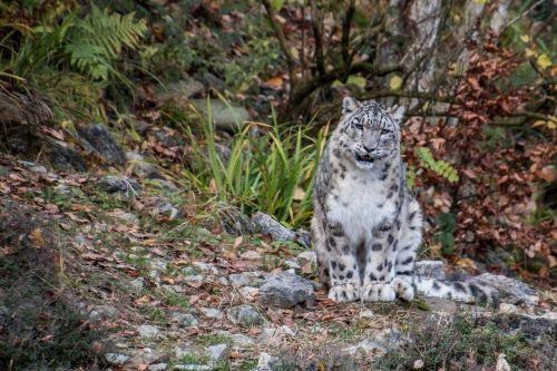 sniego leopardas,leopardas,irbis,didelė katė,plėšrūnas,kilnus,dėmės,gyvūnų portretas,panthera uncia,baltas leopardas,sėdi,Viso kūno