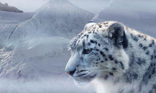 sniego leopardas,leopardas,sniegas,ledas,ledynas,kalnai,katė,baltas leopardas,dėmės,gamta,šaltas,žiemos laikas,plėšrūnas,klimato kaita,šaltis,žiemą,ledinis,gyvūnai,grėsmė,buveinė