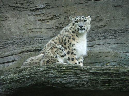 sniego leopardas,Cub,kūdikis,gyvūnas,zoologijos sodas,kailis,laukinė gamta
