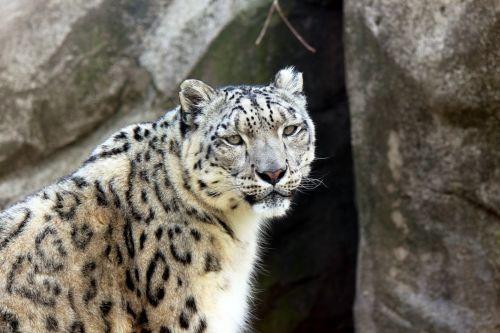 sniegas & nbsp, leopardas, leopardas, didelis & nbsp, katinas, mėsėdis, stovėti, laukti, dėmės, dėl, laukinė gamta, gyvūnas, gamta, Sniego leopardas stovi