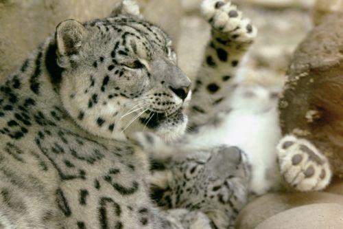 leopardas, sniegas & nbsp, leopardas, motina, Cub, kailis, mielas, saldus, žaismingas, didelis & nbsp, katinas, laukinis & nbsp, gyvūnas, žinduolis, gamta, laukinė gamta, sniego leopardas su kub