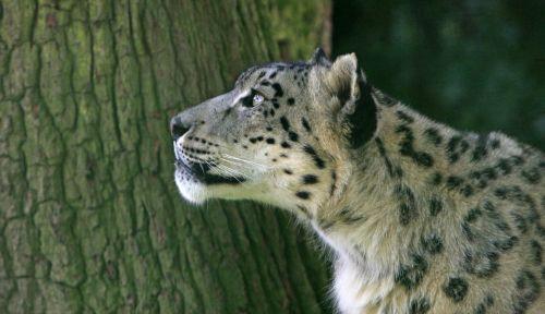 sniegas & nbsp, leopardas, leopardas, katė, kačių, galva, veidas, Iš arti, gražus, gražus, nuotrauka, vaizdas, lauke, laukiniai, laukinė gamta, gamta, sniego leopardas