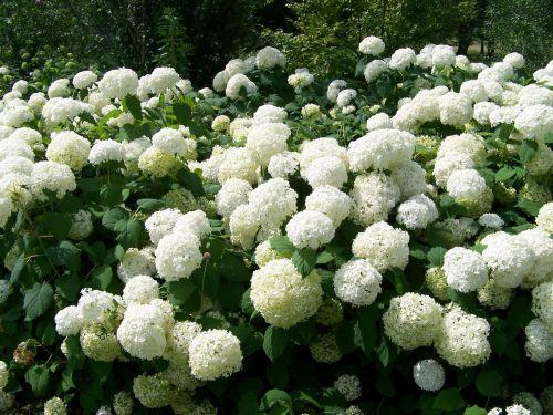 snieguotukas, krūmai, krūmas, žydėti, gėlės, vasara, sniego gniūžtės krūmai
