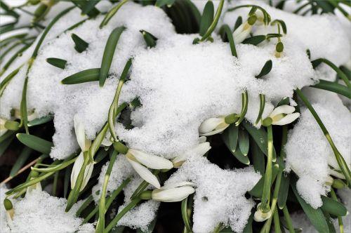 sniego žiedai, po sniegu, sušaldyta, pavasaris, sniego danga, sodas, snieguotas, sniegas, baltos gėlės, be honoraro mokesčio