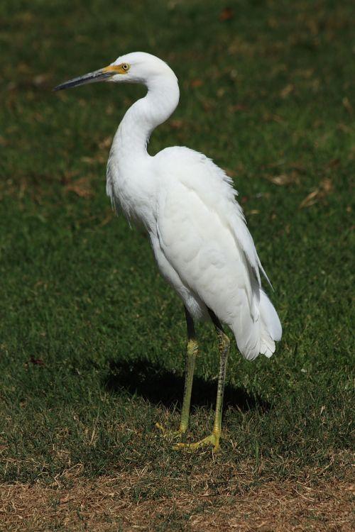 Egret, snieguotas, paukštis, gamta, snieguotas erelis ant žolės