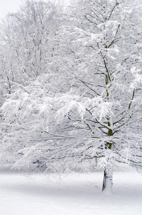 snieguotas, sniegas, snieguotas, sezonai, filialas, filialai, žiema, snaigė, stendas, temperatūra, gamta, fonas, be & nbsp, lapų, gražus, xmas, Kalėdos, kraštovaizdis, snieguotas medis