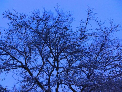sniegas, snieguotas, snieguotas & nbsp, medis, medis, mėlynas, dusk, fonas, atmosfera, snieguotas medis žiemą