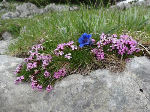 soapwort,gentian,gvazdikas,gėlės,mėlynas,mėlynas gentianas,raudona muilas,kalnų augalas,rožinis,laukinė gėlė,kalnų gėlė,vasara,augalas,rožinė gėlė,laukiniai,kalnų pasaulis,flora,kalnų flora