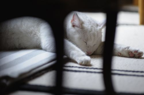 Kietas Baltas Katinas, Balta Katė, Miega, Poilsis, Augintiniai, Plėšrūnai, Veidas, Patalpose, Ro