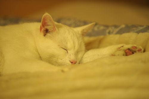 Kietas Baltas Katinas, Katė, Poilsis, Ro, Taika, Atsipalaidavimas, Galios Nap, Kojos, Pėdos, Patalpose, Sausas, Karštas
